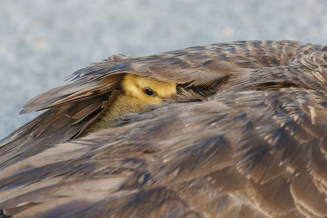 Mother Canada Goose And Her Gosling by Steve Creek, via Flickr