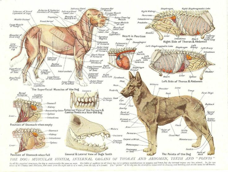 A3 Veterinary Poster Muscles Organs Of The Dog Animal Anatomy Pathology Ebay In 2021 Dog Anatomy Veterinary Animal Science