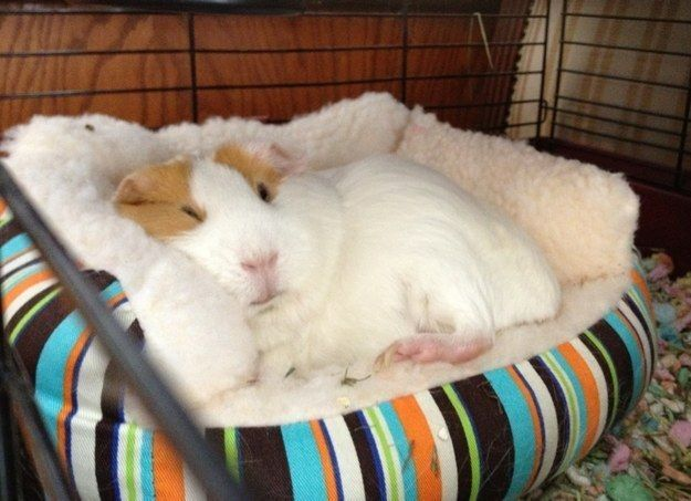 This one who just wants to be smothered in kisses because he's SO FREAKIN' CUDDLY.   26 Guinea Pigs Who Will Make You Smile The Most