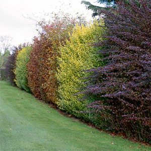 Growing a thick hedgerow, rather than building an esthetically harsh fence, is an excellent option for privacy.