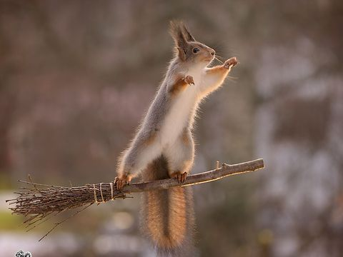 wild red squirrels using a broom in the air to get food