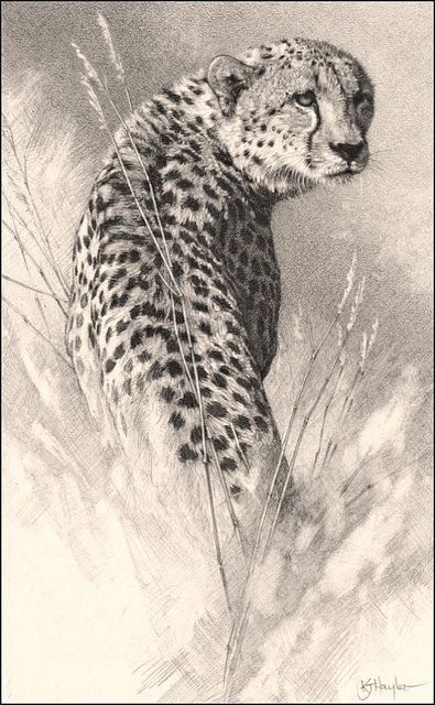 "'A Waiting Game'- Cheetah - Fine Art Pencil Drawings-www.drawntonature.co.uk 191mm x 321mm ( 7 1/2"" x 12 5/8"" ) by kjhayler, via Flickr"