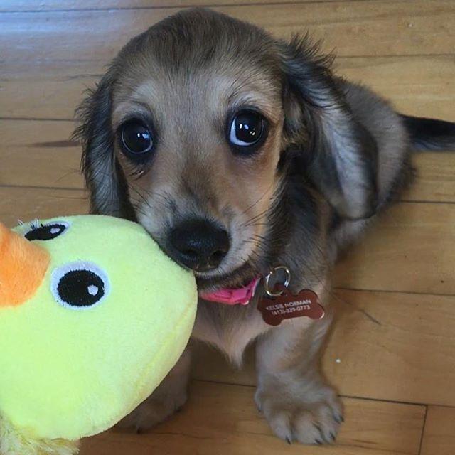 Ducky got my eyes ❤️ very cute @heiditheminidoxie #dachshund…