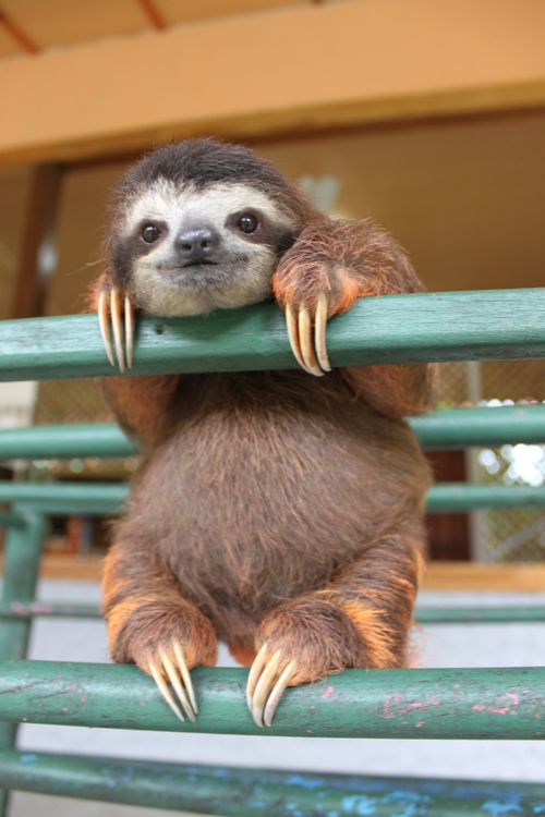 Check out this cutie - working hard on his climbing technique.  To help orphaned baby sloths like this one grow up and climb trees in the wild please donate to scientist Rebecca Cliffes rehabilitation project at the sloth sanctuary of Costa Rica http://www.indiegogo.com/projects/save-our-sloths