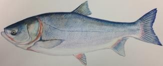 Next-generation gene sequencing technology can identify invasive carp species in Chicago area waterways