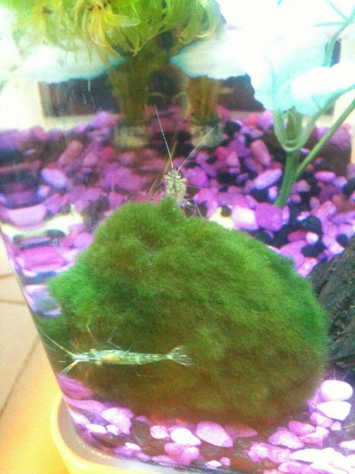 176 best betta fish stuff images on pinterest aquarium for Betta fish moss ball