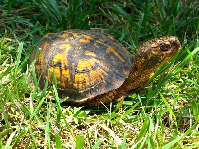 ... about Box turtles on Pinterest | Box turtles, The box and The turtles