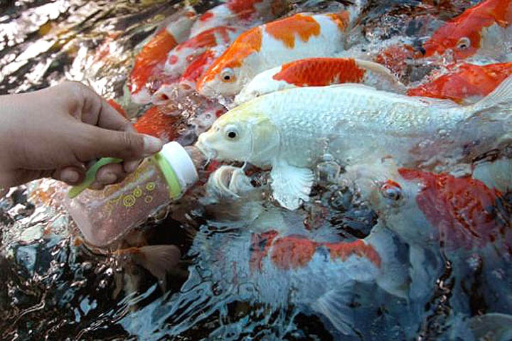 40 best images about koi fish delightfuls on pinterest for Baby koi food