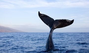 Upside-Down Whale 'Tail-Sails' Off The Coast Of Maui In Incredible Footage