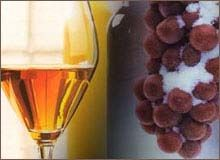 Canadian Ice Wines
