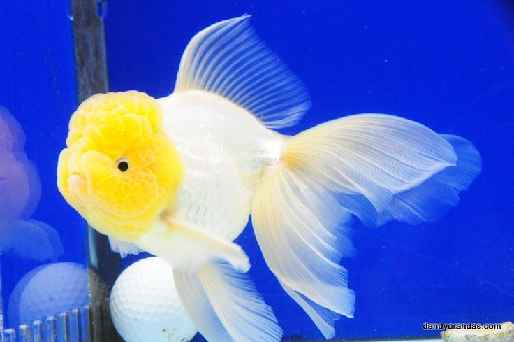 White oranda goldfish - photo#4