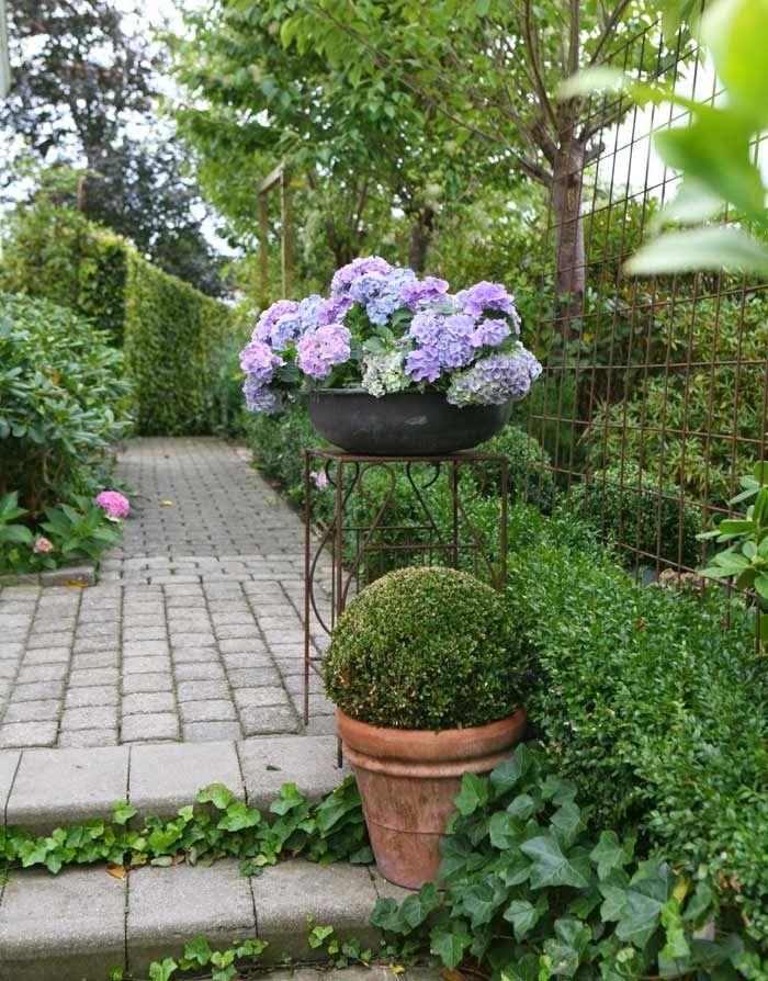 Havedrømme:  Et hurtigt impulskøb af to velforgrenede hortensi...