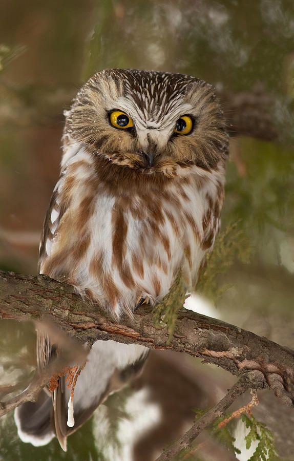 Owl (Aegolius acadicus)