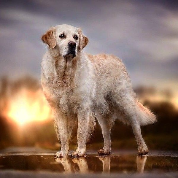 Idea By Anna Balliette On Animal Photography Dog Photography Golden Retriever Dog Photos