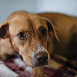 12/28/17-Go Rescue Pet Adoption Center, Virginia Beach, Virginia - Hound (Unknown Type). Meet Lola, a female dog for adoption. https://www.adoptapet.com/pet/20208085-virginia-beach-virginia-hound-unknown-type-mix. Lola was pregnant when she was rescued from a high kill Mississippi shelter. She has since given birth to 11 puppies & they will all need homes in about 2 months.