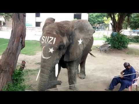 LAHORE: Suzi, Lahore Zoo's only elephant, died on Saturday after spending a few days with acute pain in her legs. She was 31-years-old. The African bush elephant had never experienced the pleasure of living in harmony with her own species.   ##Pakistan #31 #at #attraction #children #darling #death #dies #elephent #favourite #kids #lahore #lahore zoo elephant suzi #lahore zoo suzi #Newsleaks #no more #pak news beat #suzi #suzi elephant lahore zoo #suzi lahore zoo #zoo