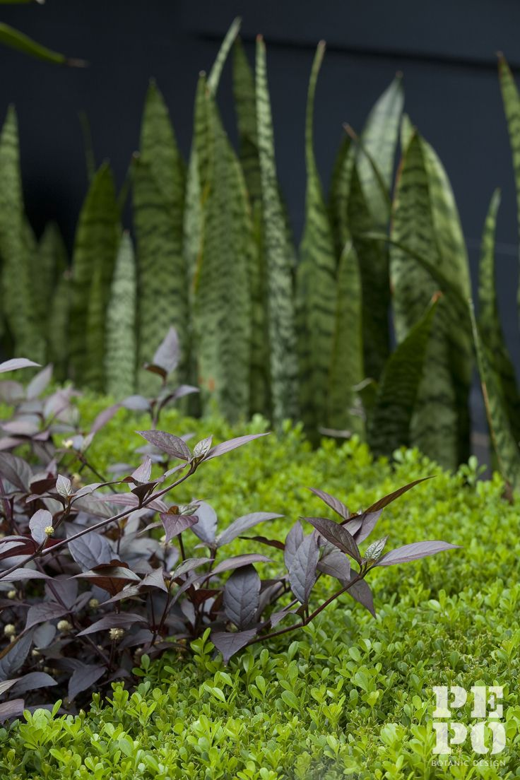 Sansevieria, Buxus and Alternanthera in a formal front garden By Pepo Botanic Design