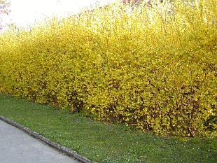 Best 25+ Living Fence Ideas On Pinterest   Hedge Fence Ideas, Living Willow  Fence And Backyard Trees