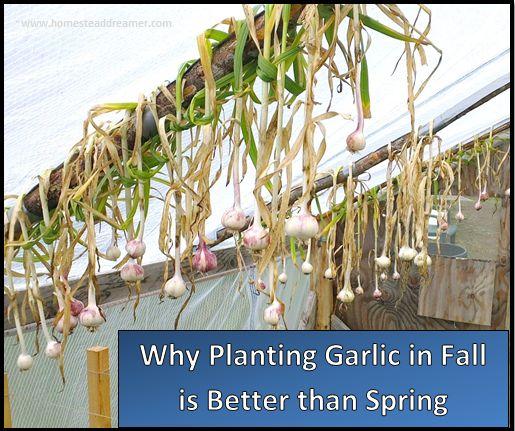 25 best planting garlic ideas on pinterest grow garlic harvesting garlic and planting. Black Bedroom Furniture Sets. Home Design Ideas