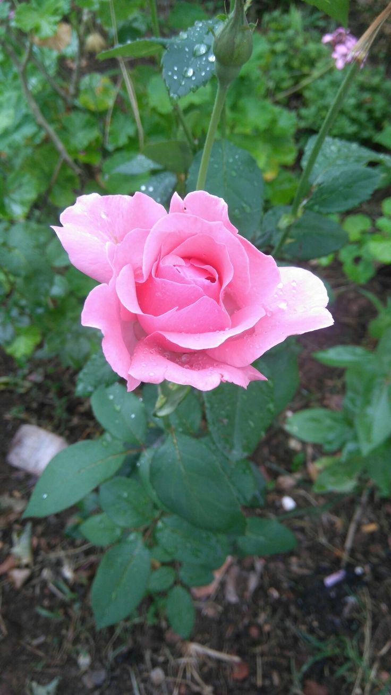 Rosa cor de rosa 🌹