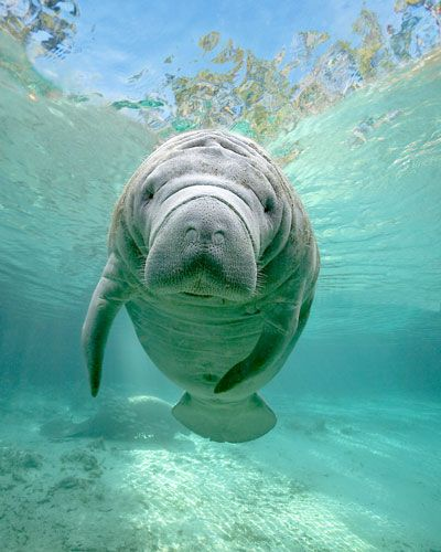 From Gregory Sweeney's Gallery of Manatee and Florida images