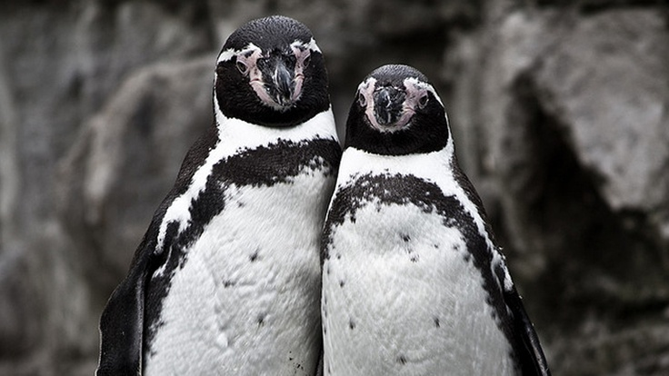 Today we learned that love is complicated. It's especially complicated if you're a gay penguin in a happy, healthy partnership and you're forced to do it with a lady penguin.