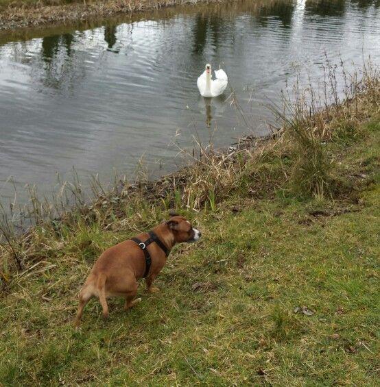 Swan making a bee line for sasha