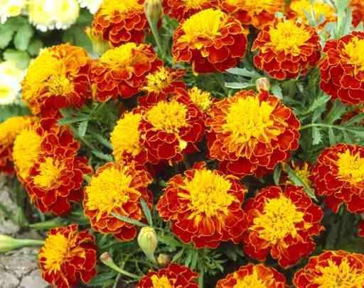 Квіти чорнобривців здатні замінити дорогі таблетки, мазі і шампуні   Новини   Всеукраїнська асоціація пенсіонерів