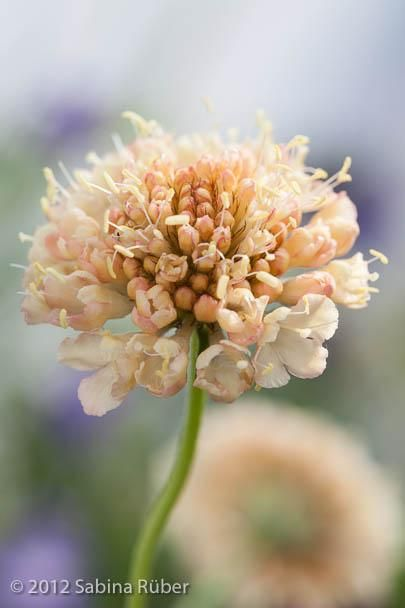 Scabiosa atropurpurea `Fata Morgana' Seeds £2.72 from Chiltern Seeds - Chiltern Seeds Secure Online Seed Catalogue and Shop