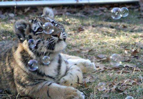 A tiger cub watching bubbles being blown around it.