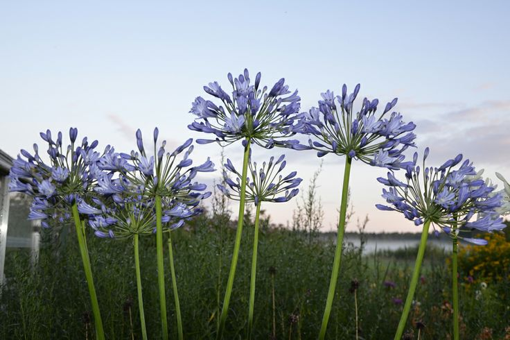 African lily against a Nordic night sky