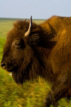This buffalo is a member of the free ranging herds at the Tallgrass Prairie Preserve in Pawhuska, Oklahoma.