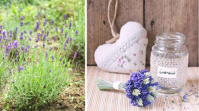 Doprajte levanduli správny rez. Seba potešíte v lete, rastlinu v predjarí.