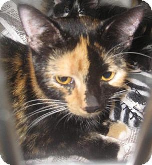 URGENT! Johnson City, TN - Domestic Shorthair. Meet bitty (e fairview), a cat for adoption. Act quickly to adopt bitty (e fairview). Pets at this Shelter may be held for only a short time. http://www.adoptapet.com/pet/16797595-johnson-city-tennessee-cat