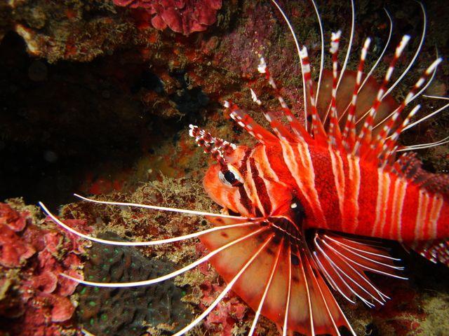 Pterois 獅子魚, 墾丁後壁湖