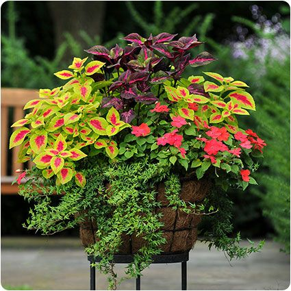 ♥ perfect shade planter...coleus, impatiens and ivy.