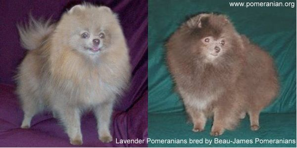 Lavender Pomeranian Bred By Beau James Pomeranians Pomeranian Colors Pomeranian Facts Cute Pomeranian