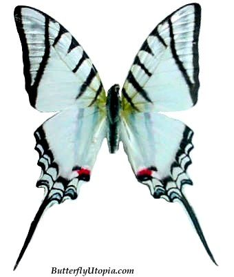 Zebra Swallowtail - Tennessee state butterfly