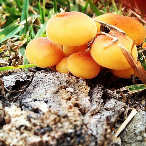 Mushrooms growing in my front garden. No filter.