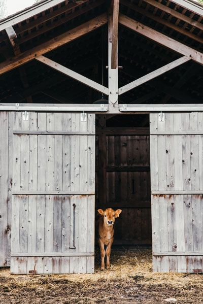 Eight-week-old Holly, one of Kurt Timmermeister's 16 Jersey cows, peers out from the Douglas fir barn at Kurtwood Farms, constructed in 2006.