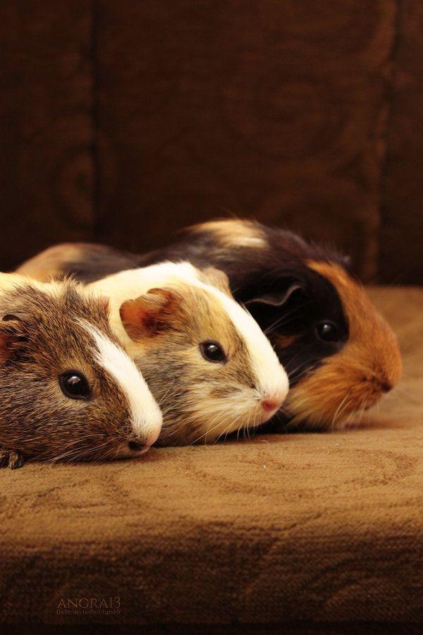 Peruvian Guinea pig is very cut :)