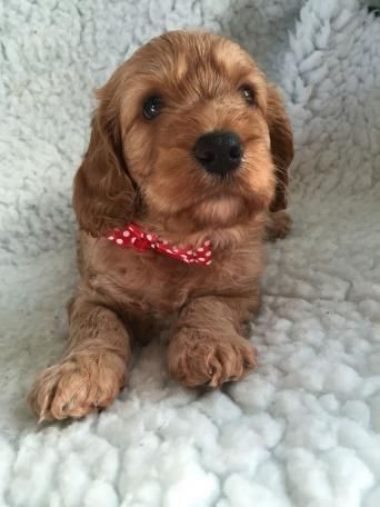 Preloved | cocker spaniel toy poodle dogs, puppies for sale UK and Ireland