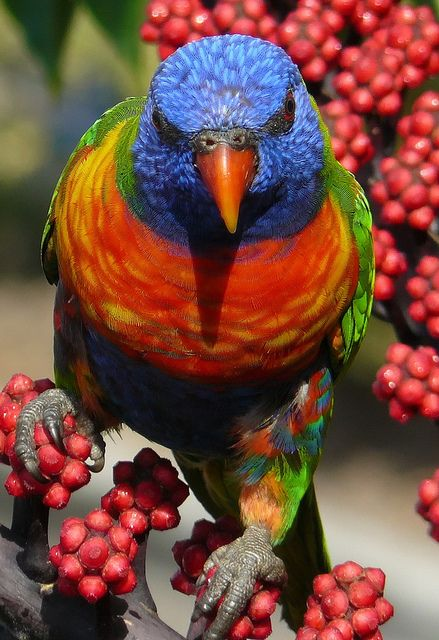 Rainbow Lorikeet #parrots