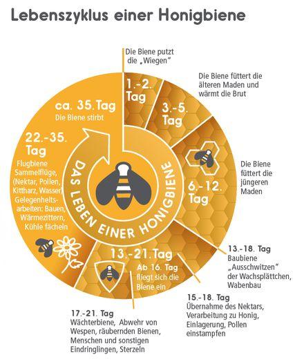 Lebenszyklus Honigbiene