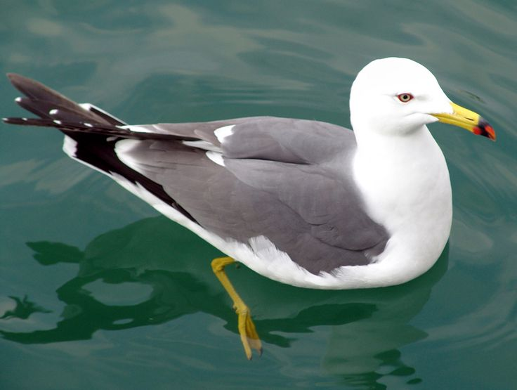 Black-tailed Gull (Larus crassirostris) by Angie.
