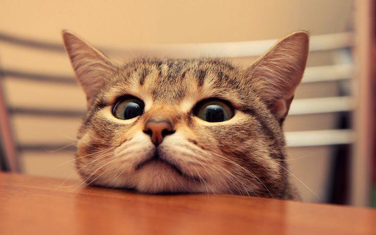 Как отбить у кота желание залезть на стол » Женский Мир