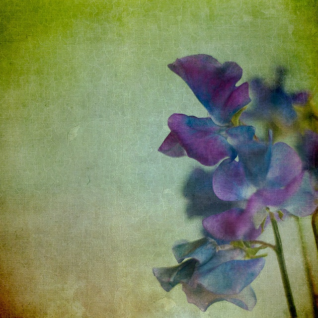 don't know if i already posted this so here is a painting of a blue sweet pea!( they are real!)