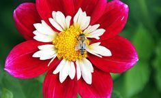 Bienen finden in der freien Natur immer weniger Nahrung und sind auch durch den Einsatz von Pflanzenschutzmitteln bedroht. Fachleute streiten sich jedoch nach wie vor, wer oder was genau für das Bienensterben verantwortlich ist. Dass aber jeder Garten- und Balkonbesitzer etwas für den Bienenschutz tun kann, davon hört man vergleichsweise wenig.