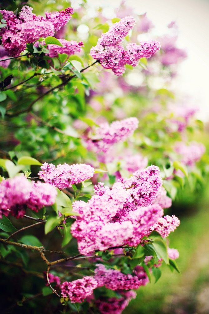 i want my entire garden to be lilacs. just only lilacs all over.... and jasmines.