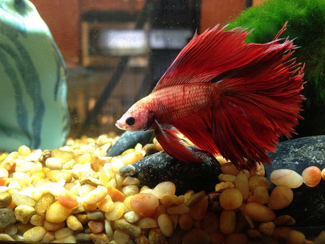 17 best images about betta tips on pinterest vases for Healthy betta fish
